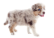 Puppy australian shepherd Royalty Free Stock Image