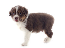 Puppy australian shepherd Royalty Free Stock Images