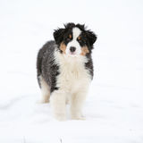 Puppy of australian shepherd in winter Stock Photography