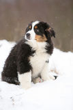 Puppy of australian shepherd in winter Stock Images