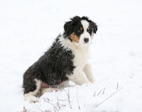 Puppy of australian shepherd in winter Royalty Free Stock Photography