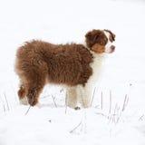 Puppy of australian shepherd in winter Stock Photos