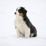 Puppy of australian shepherd in winter Royalty Free Stock Photography