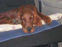Puppy in auto Royalty-vrije Stock Fotografie