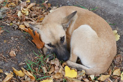 Puppy in autumn Stock Images