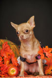 Puppy in autumn Royalty Free Stock Photography