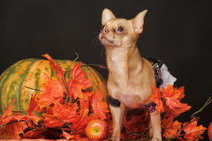 Puppy in autumn Stock Photography