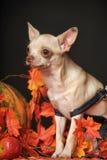 Puppy in autumn Stock Photo