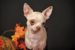 Puppy in autumn Royalty Free Stock Photos