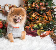 Puppy Autumn. Clothes and fall theme Royalty Free Stock Photography