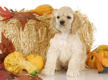 Puppy in autumn scene Stock Images