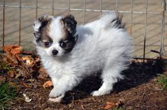 Puppy1. Baby long-coated White with sable spots Chihuahua puppy, 8 weeks old playing outside with one paw raised Stock Photography