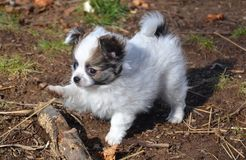 Puppy3. Baby long-coated White with sable spots Chihuahua puppy, 8 weeks old playing running with a big stick outside with tail raised Royalty Free Stock Photo