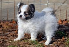 Puppy2. Baby long-coated White with sable spots Chihuahua puppy, 8 weeks old standing alertly outside with tail raised Royalty Free Stock Photos