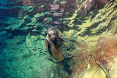 Puppy baby sea lion underwater looking at you Royalty Free Stock Images