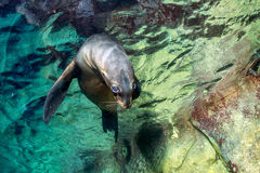 Puppy baby sea lion underwater looking at you Stock Images