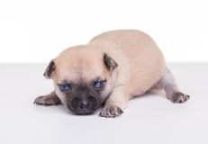 Puppy on the backdrop Royalty Free Stock Photos