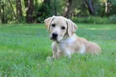 Puppy in a Backyard Stock Image