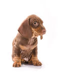 Puppy of badger-dog. Brown puppy of badger-dog Royalty Free Stock Photography