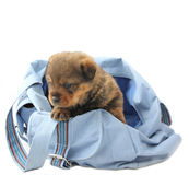 Puppy in the bag Stock Photography