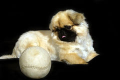 Puppy with ball. Puppy with base ball on black background stock photo