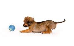 Puppy And Ball. Puppy having fun with a ball Royalty Free Stock Images