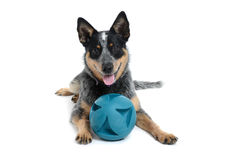 Puppy Ball Royalty Free Stock Image