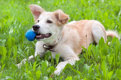 Puppy with a ball in his teeth. Golden retriever puppy on the grass with the ball in his teeth Stock Photo
