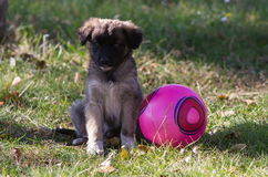 Puppy with ball Stock Images