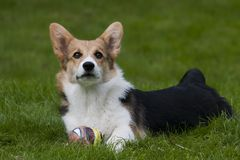 Puppy with ball. Welsh corgi puppy with a ball Stock Image