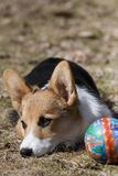 Puppy with ball. Young puppy resting with the ball close to him Stock Photos