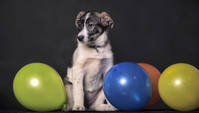 Puppy and balloons Royalty Free Stock Photos