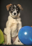 Puppy and balloons Stock Image