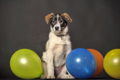 Puppy and balloons Stock Photography