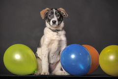 Puppy and balloons Royalty Free Stock Photo