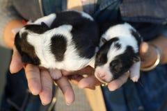 Puppy bangkaew dog sleeping on woman hands stock photo