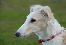 Puppy barzoi Royalty Free Stock Photography