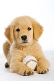 Puppy with baseball. An adorable 8 week old Golden Retriever Puppy with a baseball on an isolated white background Stock Photos