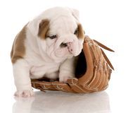 Puppy with baseball glove Royalty Free Stock Photography