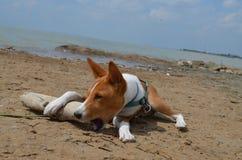 Puppy Basenji on the beach royalty free stock photo