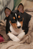 Puppy Basenji hunting dog Royalty Free Stock Images
