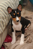 Puppy Basenji hunting dog Stock Photos
