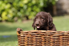 Puppy in a basket Stock Image