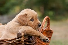 Puppy in basket Stock Images