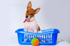 Puppy in basket Stock Photos