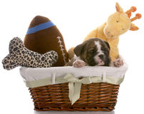 Puppy in a basket Royalty Free Stock Image