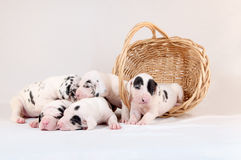 Puppy basket Stock Photos