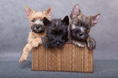 Puppy in basket. Stock Image