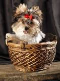 Puppy in basket Stock Photos