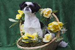 Puppy in basket Royalty Free Stock Image